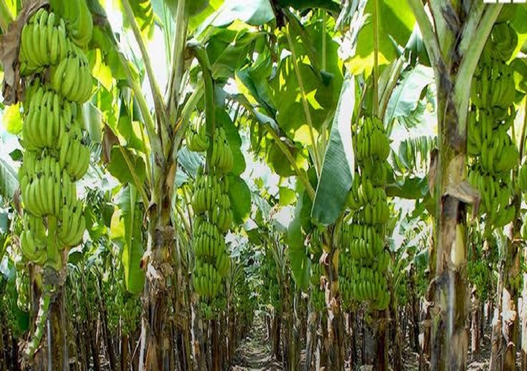 बिहार के किसानों को इस नई तकनीक से केले की खेती में हो रही है अच्छी कमाई, जानिए