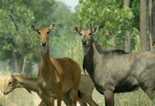 23 जनवरी से नीलगायों को मारने का शुरू होगा अभियान, हैदराबाद से बुलाए गए शूटर