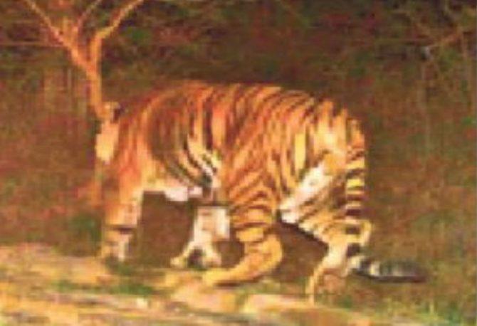 कैमूरांचल के जंगलों में मिला बाघ, टाइगर रिजर्व घोषित करने का भेजा गया प्रस्ताव